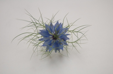 Nigella beauty
