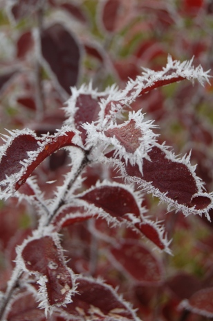 Frost on Ninebark