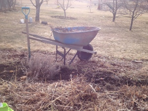 Weeding grasses and cutting back plants in the perennial gardens, in January!